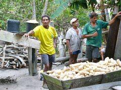 Z korzeni manioku powstanie tapioka – papka, która jest podstawa wielu potraw w Amazonii